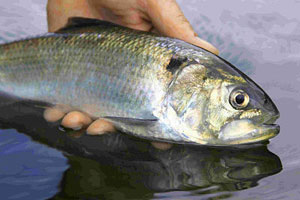 A Twaite shad from the Wye. Shad do not respond well to handling and must be released as quickly as possible.